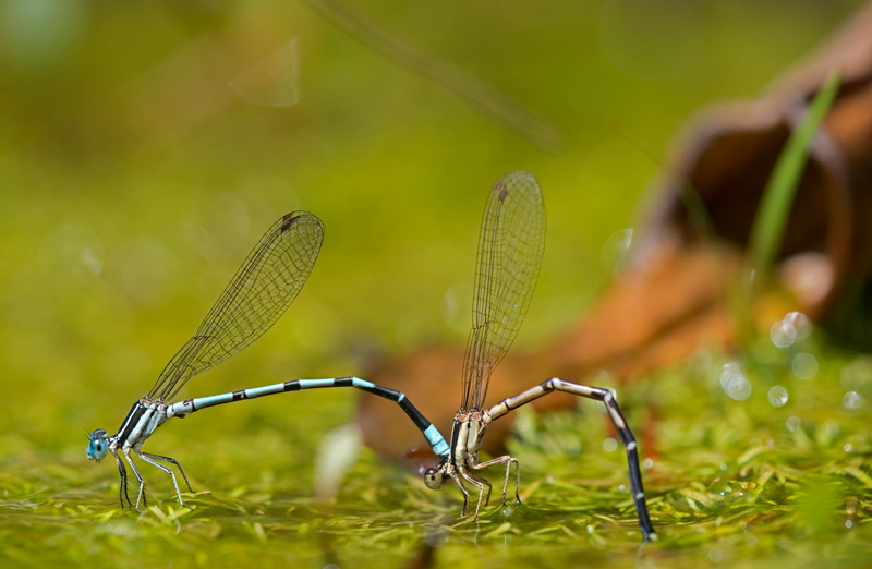 Two damselflies (which look similar to dragonflies) stand in a line, their long bodies arched so that their legs (at front) and the tips of their tails both touch the ground. The left creature is blue with black stripes, and the one on the right is tan with black stripes.