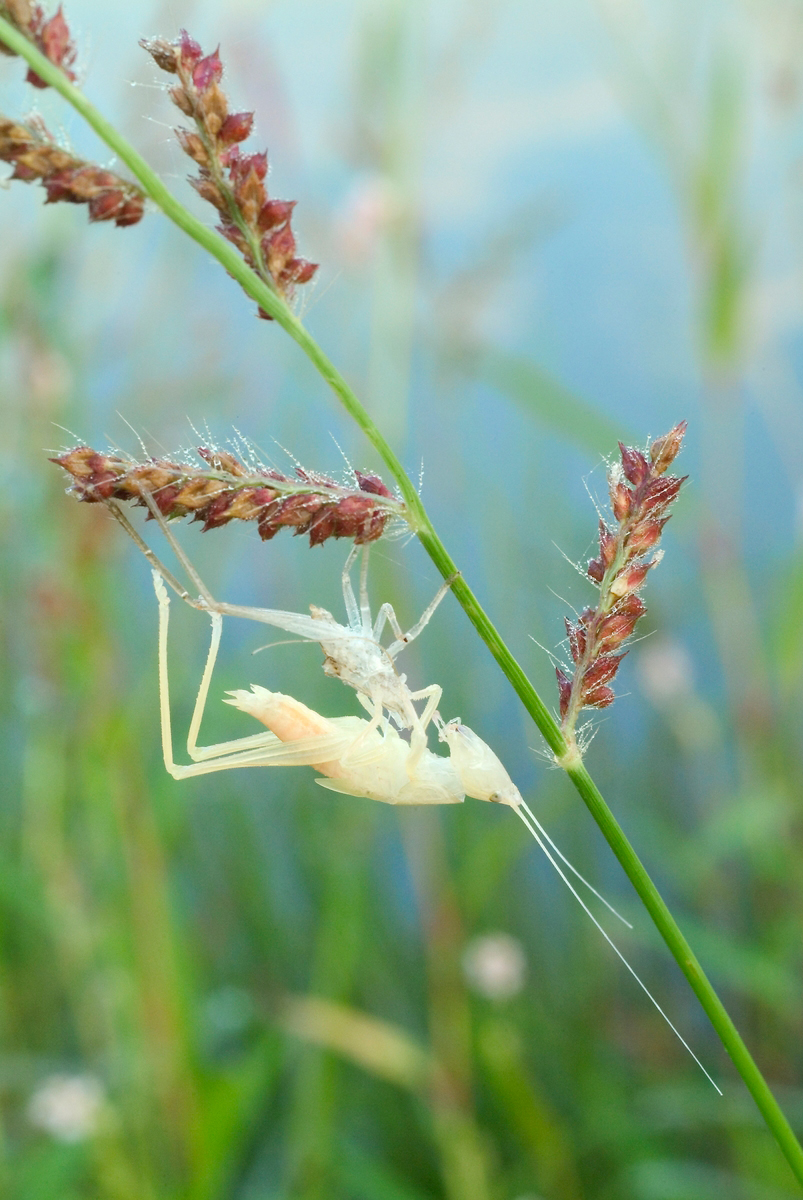 On a dew-studded stalk of grass with a green stem and pink seeds, a white insect stands atop the empty shell of its former exoskeleton. It has just molted.