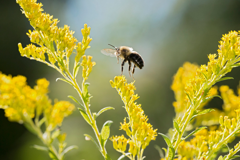 Amid fluffy, yellow flowers, a fuzzy bumble bee with yellow and black stripes takes flight.