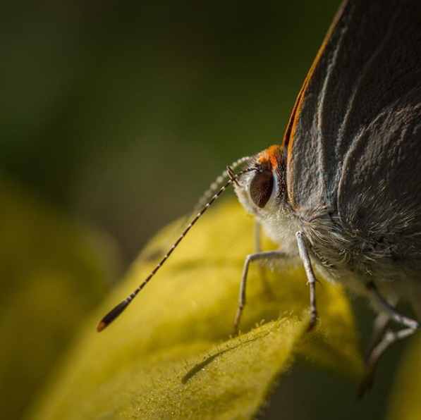 A macro shot shows the antenna and textured wings of a gray butterfly.