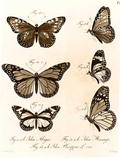 A plate illustrating a monarch butterfly taken in the vicinity of San Francisco in October 1816. (Kotzebue, 1821)