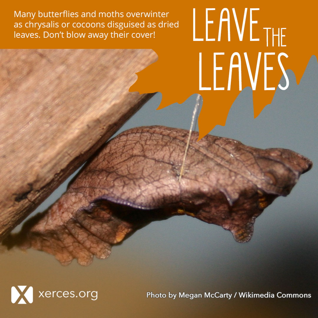 A chrysalis that looks like a brown leaf is shown in this Leave the Leaves! graphic.