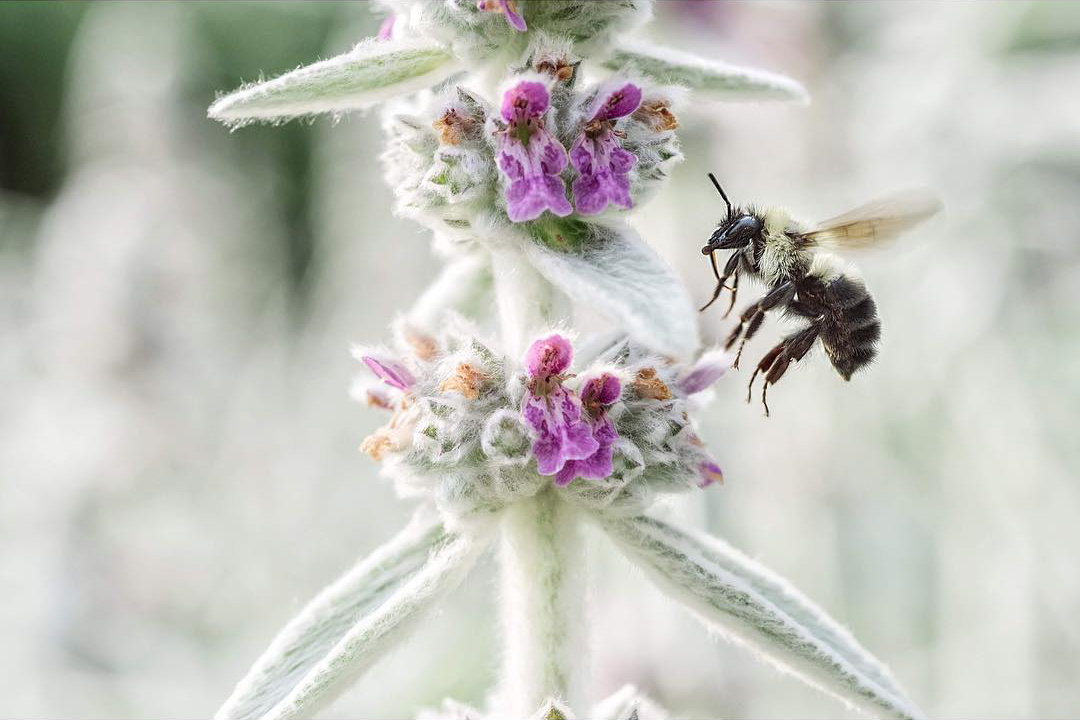 A bee hovers just above the silvery foliage of lambs ear that's beginning to bloom with pink flowers.
