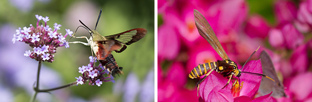 Hummingbird and sphinx moths are frequent visitiors to gardens during the day (Photo: Justin Wheeler / Xerces Society). Some moths mimic bees, wasps, and other day-flying pollinators (Photo: (c) Bryan E. Reynolds).