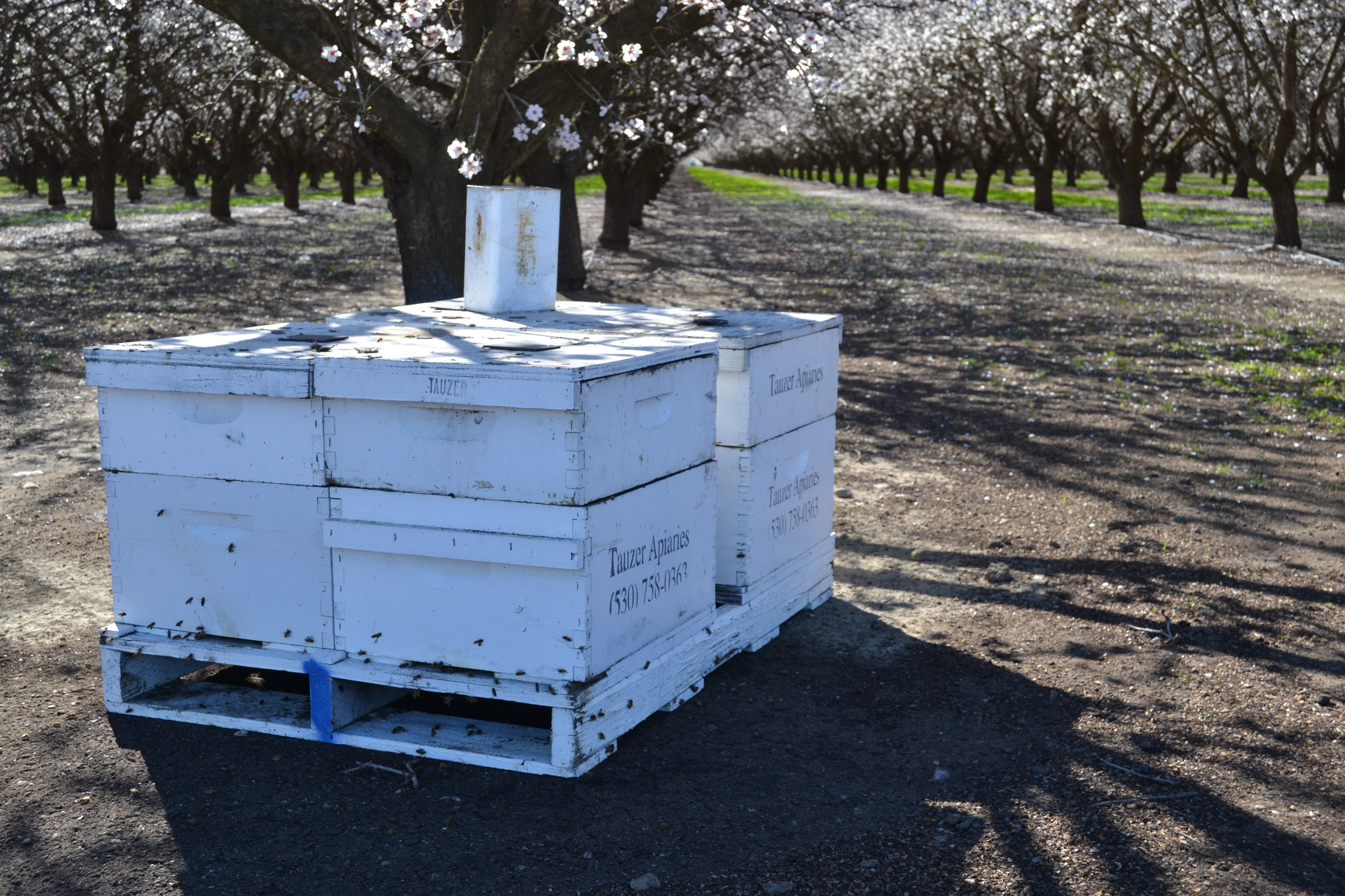 Bee boxes are stacked under blooming almond trees.
