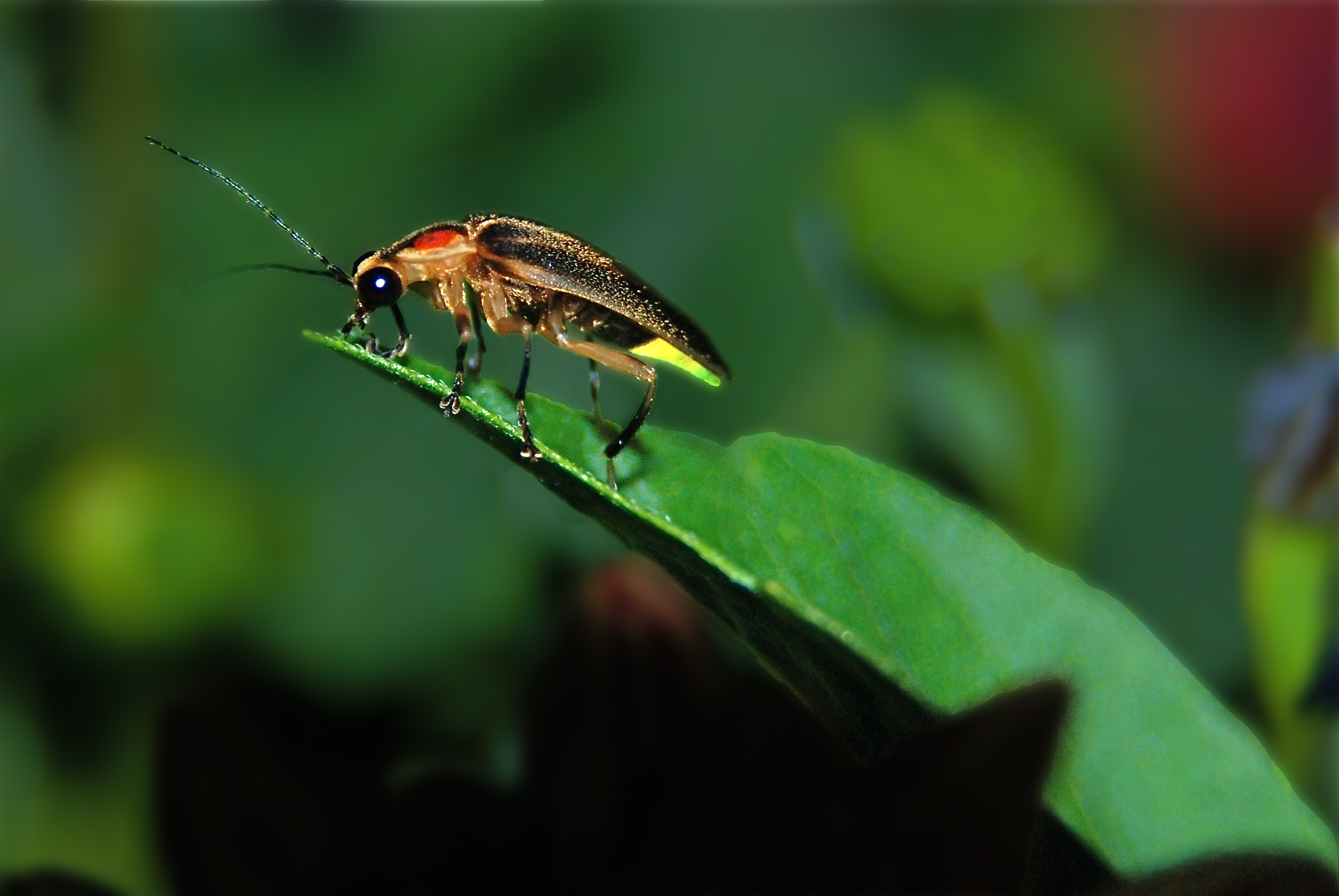 A firefly resting on a leaf.