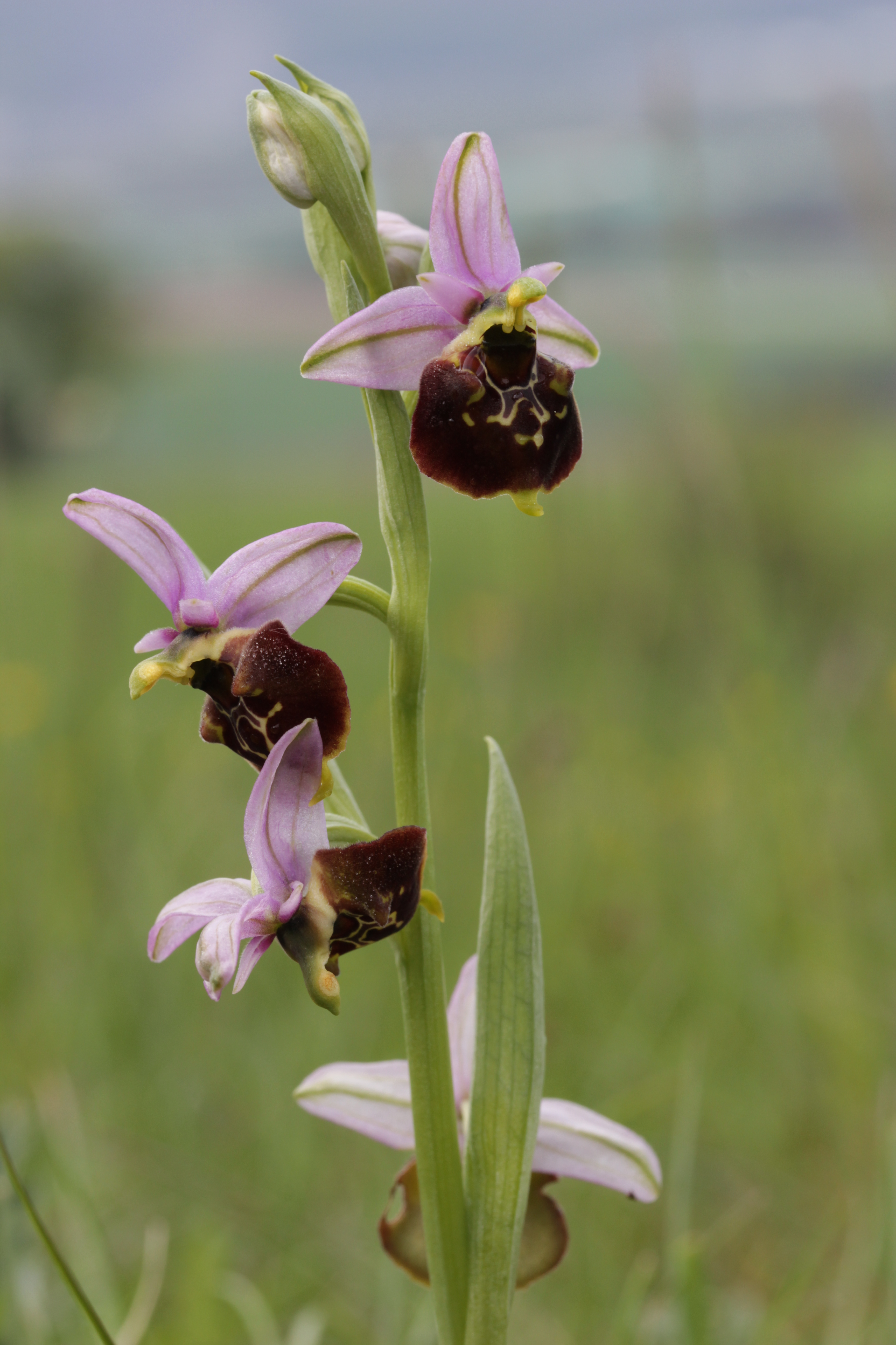 The exotic-looking flowers of the late spider orchid.
