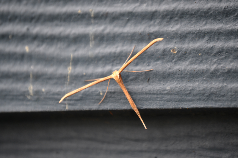 Moths exhibit wide diversity. This plume moth (Hellinsia homodactyla) defies many of the defining characteristics associated with moths. Photo: Matthew Shepherd / Xerces Society