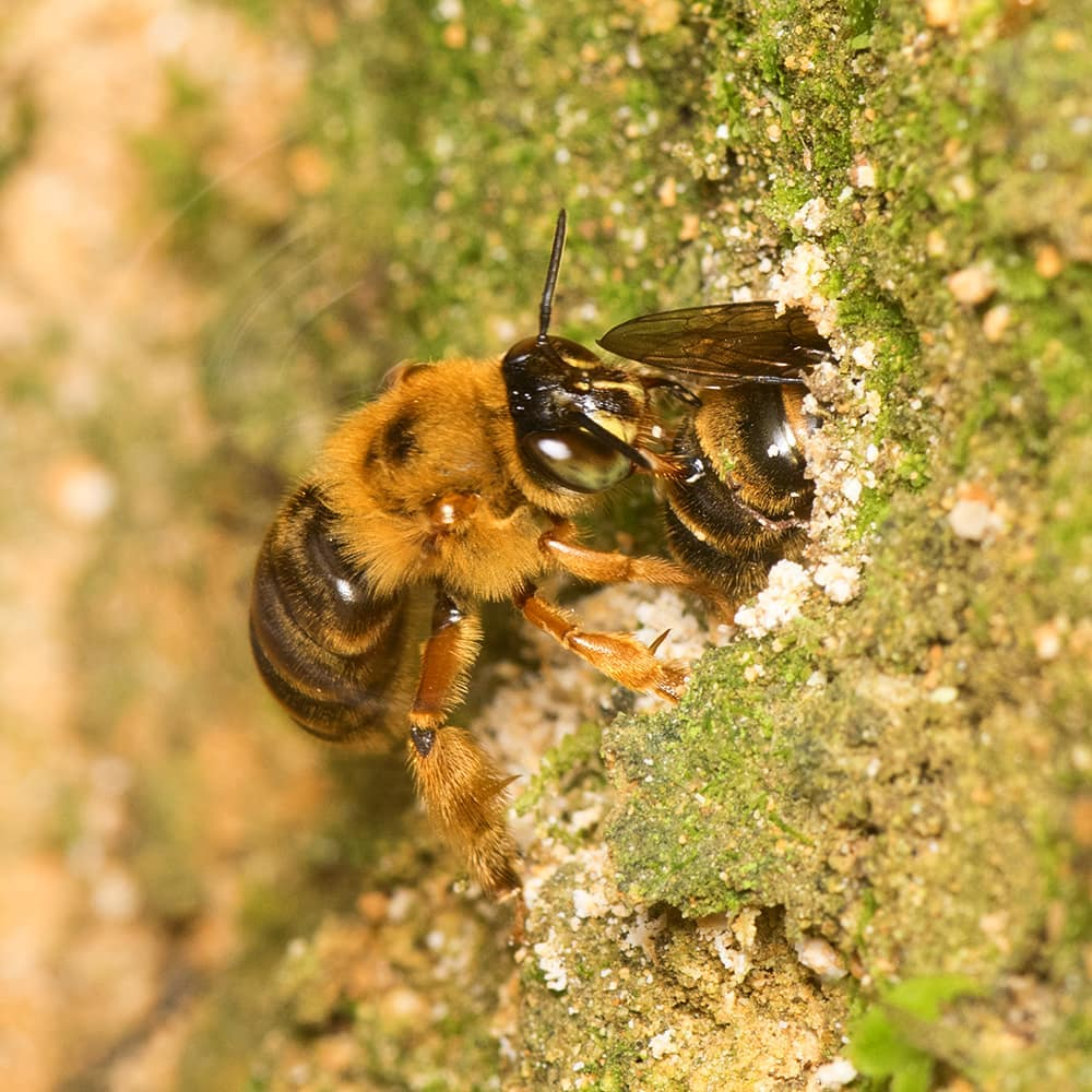 As one bee is inside a nesting hole, another is directly behind.