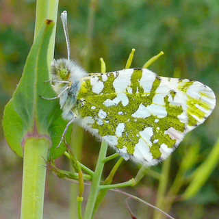 An island marble butterfly, so named for its marbled bright green and white wings, perches on a leaf.