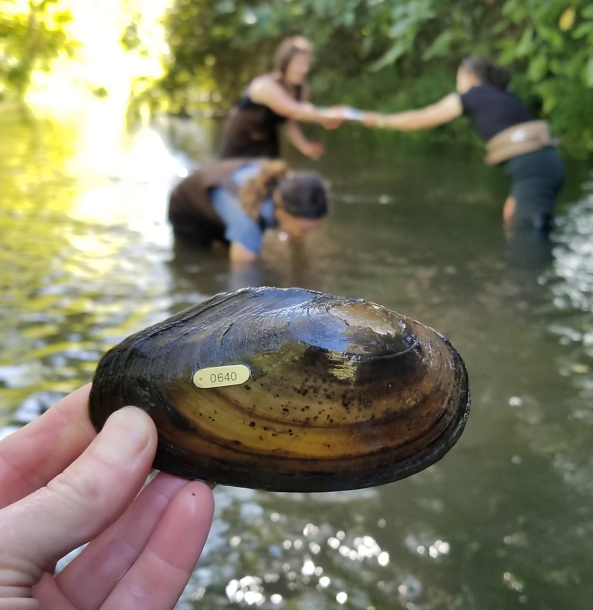 Women wading in a thigh-deep stream pass a freshwater mussel (a large shell) between them.