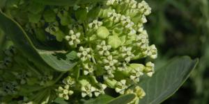 Broadleaf milkweed (Asclepias latifolia) (Photo: Jerry Oldenettel / Flickr Creative Commons 2.0)