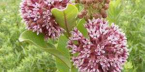 Common milkweed (Asclepias syriaca) (Photo: USFWS / Flickr Creative Commons 2.0)
