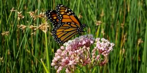 Swamp milkweed (Asclepias incarnata) (Photo: Xerces Society / Stephanie McKnight)