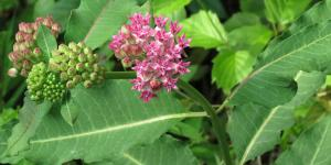 Purple milkweed (Asclepias purpurascens) (Photo: Katja Schulz / Flickr Creative Commons 2.0)