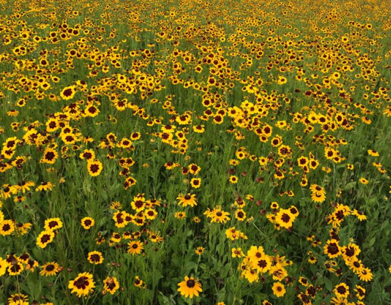 A field bursting with bright yellow flowers is shown.