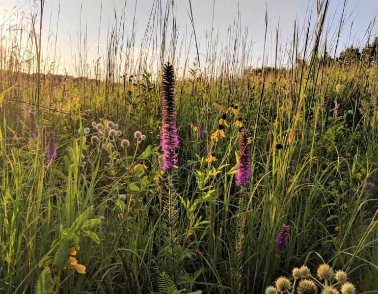 Prairie grasses and flowers are illuminated beautifully by low, golden sunlight.