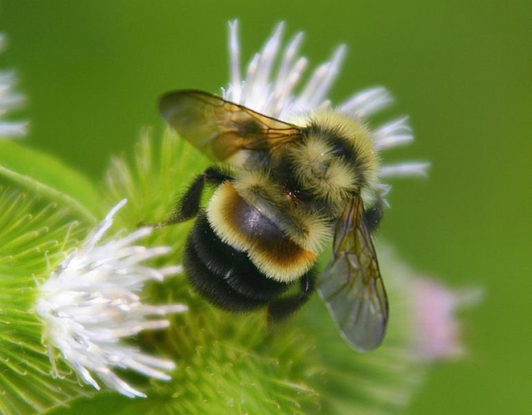 A plump bumble bee with yellow and black stripes, as well as a brown patch on its back and brownish wings, pollinates a small, white flower.