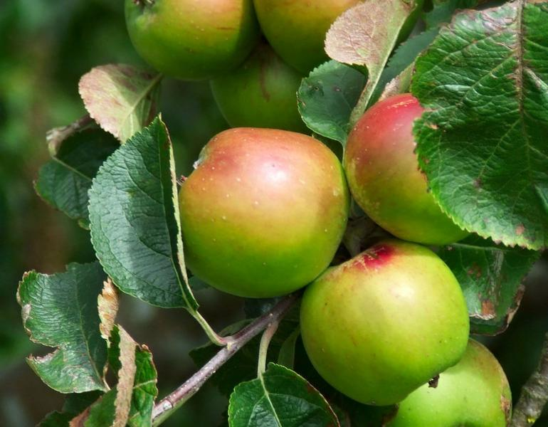 Red-and-green apples are clustered on a tree branch.