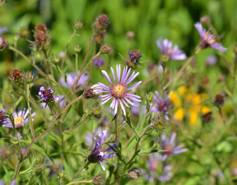 Purple asters bloom against a green background.