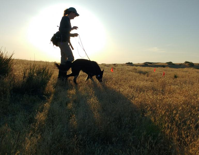 A woman walking across a field with a nose working dog, looking for bumble bee nests.
