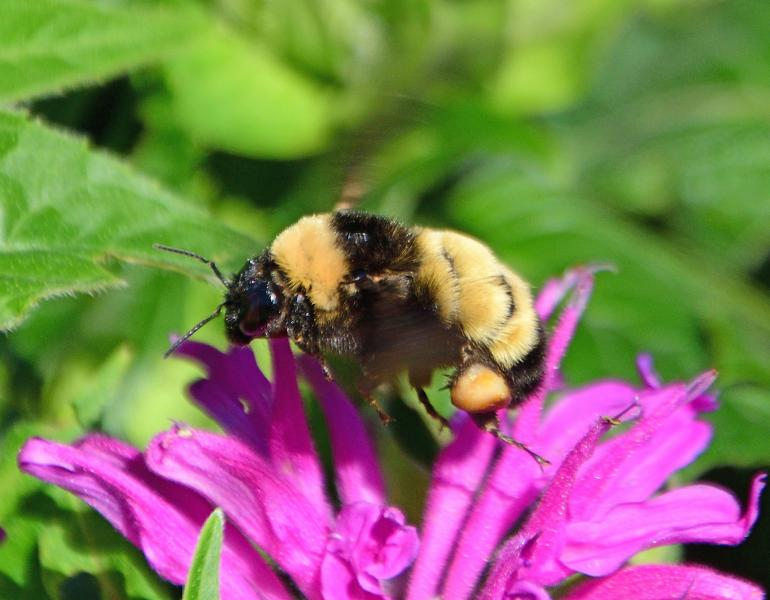 A black and yellow bumble bee on a bright pink flower