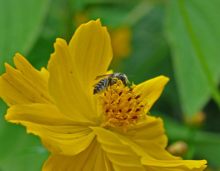 A small, dark-colored bee gathers nectar from the middle of a yellow flower