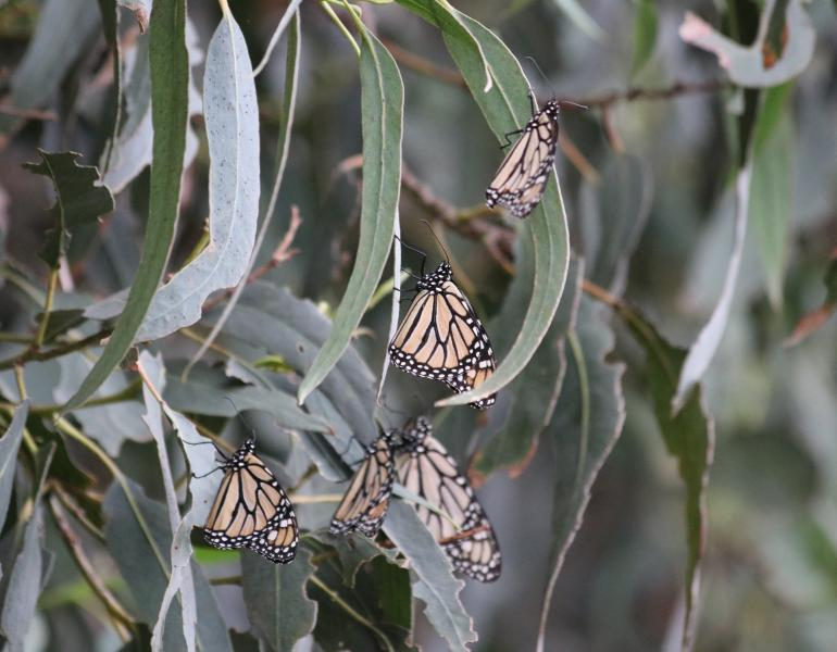 A handful of monarch butterflies with wings closed rest on the long gray-green leaves of eucalyptus