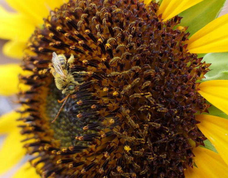 A pale brown bee with very long antennae forages on a sunflower