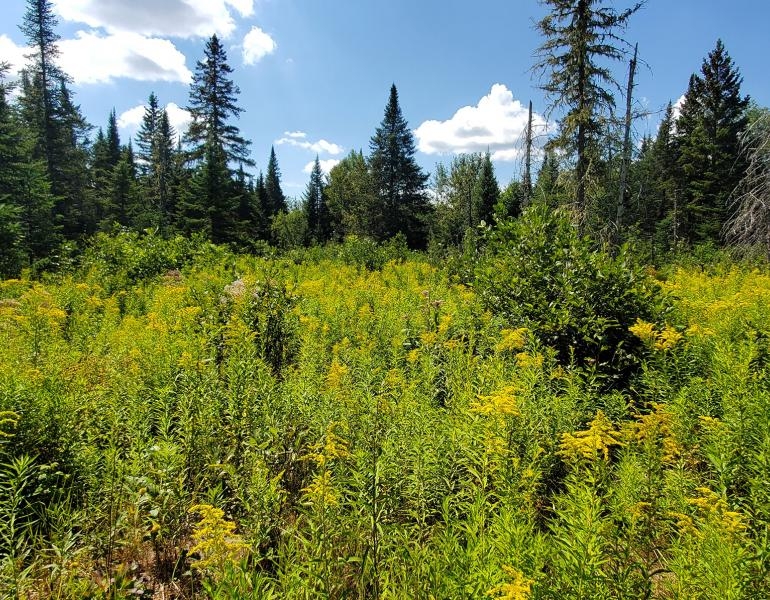 A landscape with a mass of yellow-flowered goldenrod in the foreground with dark green conifer forest behind