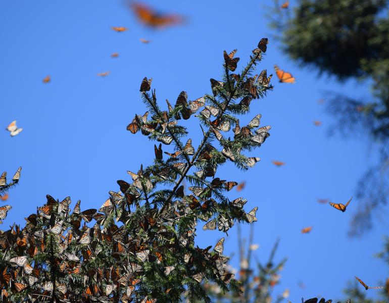 Orange-and-black monarch butterflies cling to the green branches of tress and fly in the blue sky