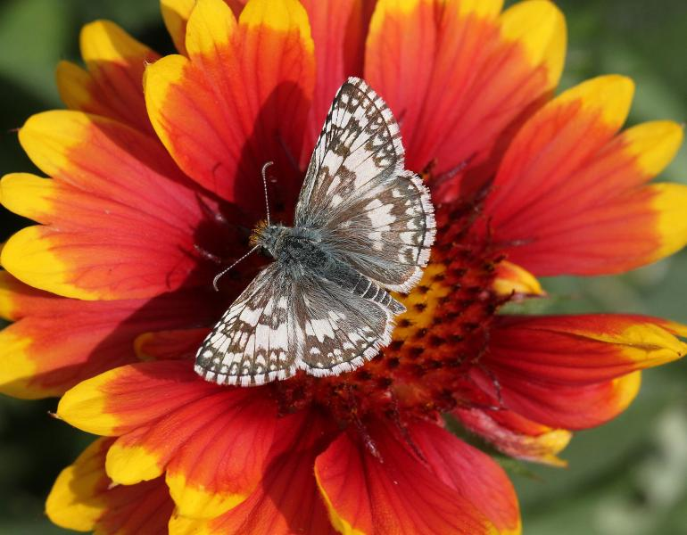 A small brown and white butterfly rests with it's wings open on a brightly colored red and yellow flower