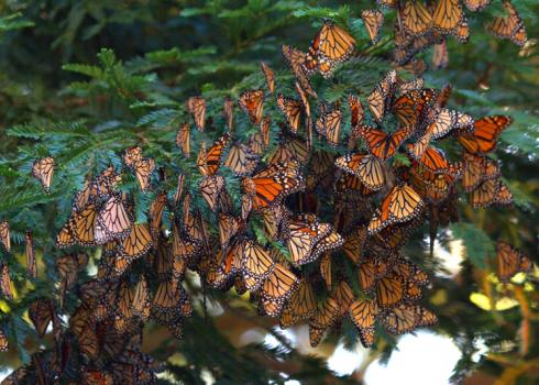 A dense cluster of monarchs, with their bright orange hues shining, cling to a deep green pine branch.