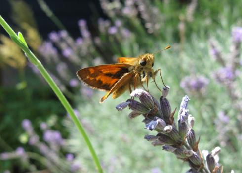 A small, orangish-brown butterfly perches on a sprig of grayish-purple lavender.