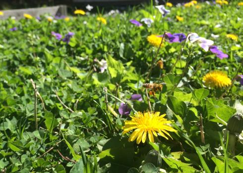 A lawn bursting with violets and dandelions provides color for humans to enjoy and pollen for our bee friends.