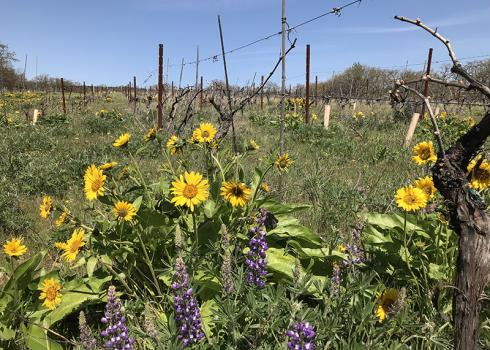 Klickitat Canyon Vineyard - in the foreground are brightly colored blooms of arrowleaf balsamroot and lupine, and in the background are rows of vines.