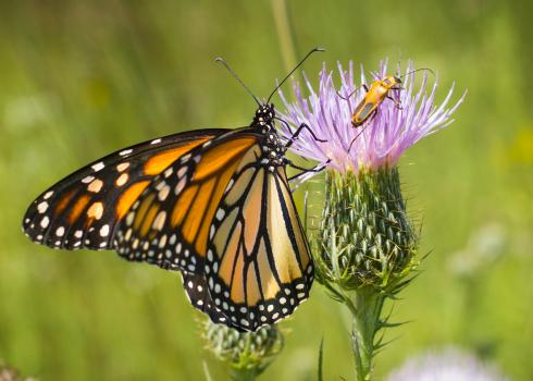 A monarch and a goldenrod soldier beetle share a pale purple thistle.