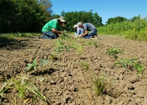 People are crouched, planting native species in a new beetle bank in Iowa.