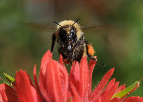 A high country bumble bee (Bombus kirbiellus) looks directly at the camera, wings blurred, as it perches atop the red petals of a paintbrush blossom.
