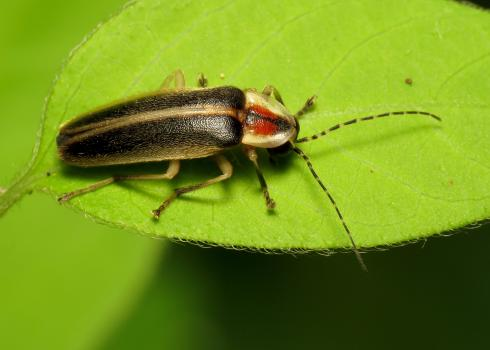 A beetle perches on a leaf.