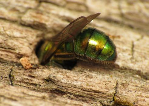 A metallic green bee appears to be climbing headfirst into a hole in some reddish-tan wood.