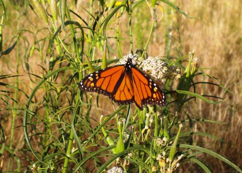Monarch butterfly drinking nectar from flowers of narrowleaf milkweed.