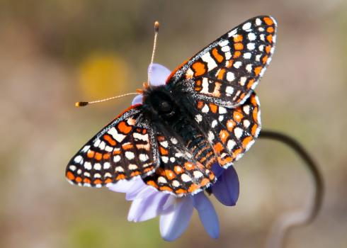 Orange, white, and black Quino checkerspot butterfly (Euphydryas editha quino) sits atop a purple flower with wings spread wide.