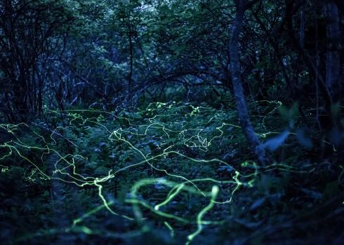Meandering yellow-green streaks weave through a darkening forest with a thick understory of ferns, in this long-exposure shot of fireflies.