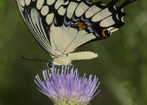 A large creamy-yellow-and-black butterfly rests atop a pale purple flower.