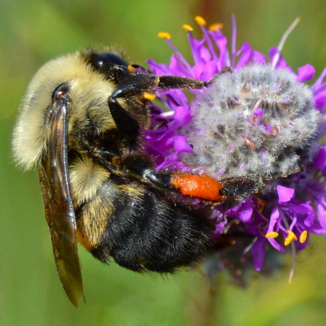Brown-belted bumble bee (Bombus griseocollis). The bee is clinging to a purple flower in this close-up image.