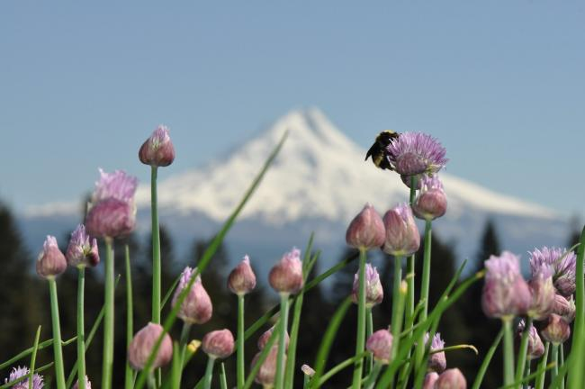 A bee nectars on a pink/purple flower in the foreground, and Mt. Hood, which is white with snow, looms in the background, set against a blue sky.