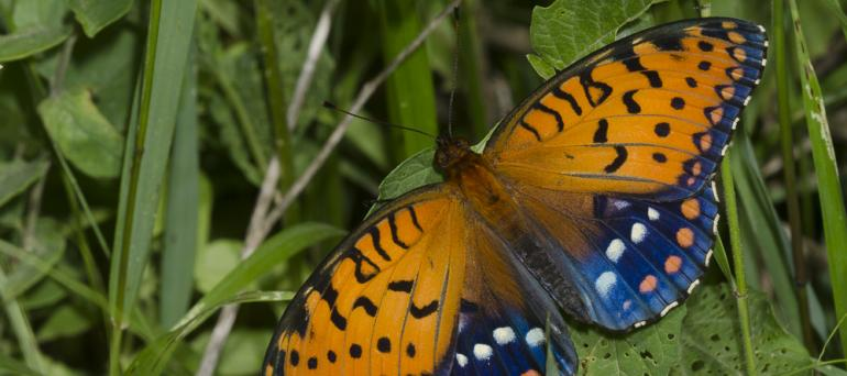 A beautiful butterfly has its wings spread, displaying areas of vibrant orange with black details, and vivid blue with white spots.
