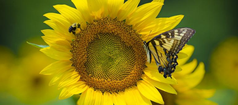 On either side of a bright yellow sunflower is a bumble bee and a bright yellow swallowtail butterfly.