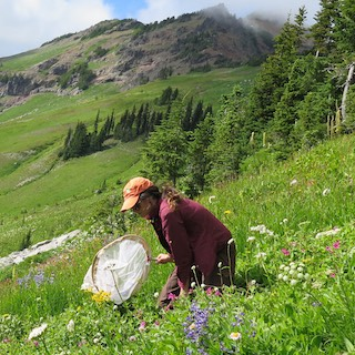 A woman in an orange baseball cap sweeps a white net over a flowering alpine meadow on a steep slope, with mountain peaks behind her.